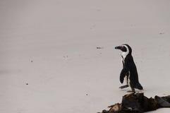 在冰砾海滩,开普敦,南非的企鹅 库存照片