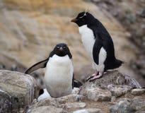 在冰砾的一只上升的Rockhopper企鹅 库存照片