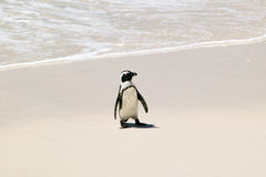 在冰砾的企鹅使,在开普敦外面,南非靠岸 免版税库存图片