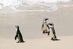 在冰砾的企鹅使,在开普敦外面,南非靠岸 免版税库存照片