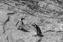在冰砾的企鹅在黑白的Simonstown靠岸 免版税库存图片