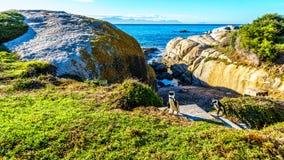 在冰砾的企鹅靠岸,一个普遍的自然保护和家到群非洲企鹅 免版税图库摄影