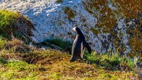 在冰砾的企鹅靠岸,一个普遍的自然保护和家到群非洲企鹅 免版税库存图片