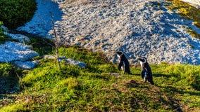 在冰砾的企鹅靠岸,一个普遍的自然保护和家到群非洲企鹅 免版税库存照片