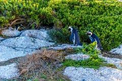 在冰砾的企鹅靠岸,一个普遍的自然保护和家到群非洲企鹅 库存照片