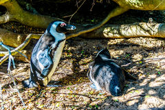 在冰砾的嵌套企鹅靠岸,一个普遍的自然保护和家到群非洲企鹅 库存图片