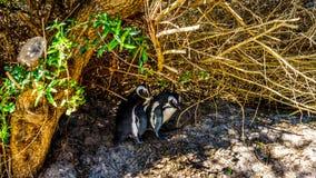 在冰砾的嵌套企鹅靠岸,一个普遍的自然保护和家到群非洲企鹅 免版税库存图片