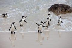 在冰砾的殖民地非洲企鹅蠢企鹅demersus在开普敦回来从海的南非附近靠岸 库存图片