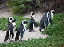 在冰砾的殖民地非洲企鹅蠢企鹅demersus在开普敦走在绿色灌木之间的南非附近靠岸 库存照片
