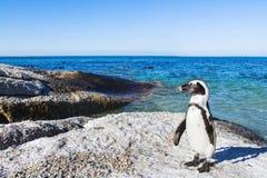 在冰砾的美丽的非洲企鹅在开普敦靠岸 免版税库存图片