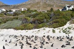 在冰砾的美妙的风景靠岸与许多公驴企鹅在开普敦,南非 图库摄影