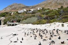 在冰砾的美妙的风景靠岸与许多公驴企鹅在开普敦,南非 库存照片