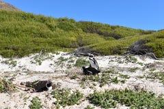 在冰砾的美妙的风景靠岸与许多公驴企鹅在开普敦,南非 免版税库存照片