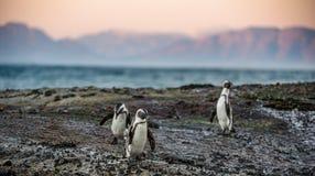 在冰砾的非洲企鹅在日落点燃天空 免版税库存照片