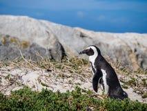 在冰砾的非洲企鹅在西蒙的镇,南非靠岸 库存图片
