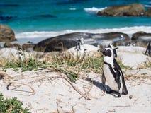 在冰砾的非洲企鹅在Simons镇,南非靠岸 库存图片