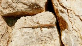 在冰砾2的蜥蜴 库存照片