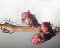 在冰结冰的树特写镜头的芽 免版税库存图片