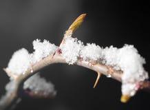 在冰结冰的树特写镜头的芽 库存图片