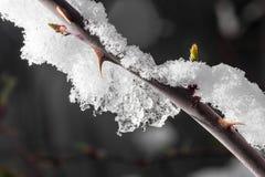 在冰结冰的树特写镜头的芽 库存照片