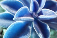 在冰蓝色的美丽的多汁植物与徒升爆炸 库存图片
