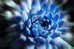 在冰蓝色的美丽的多汁植物与徒升破裂了优质 库存图片