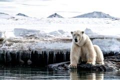 在冰边缘的成年男性北极熊在斯瓦尔巴特群岛 库存照片