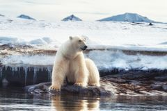 在冰边缘的成年男性北极熊在斯瓦尔巴特群岛 免版税库存图片