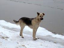 在冰边缘的狗 免版税库存图片