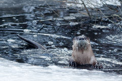在冰附近的河中水獭游泳 免版税库存照片