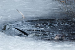 在冰附近的河中水獭游泳 库存图片