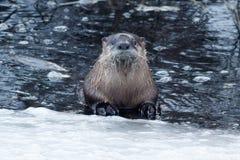 在冰附近的河中水獭游泳 免版税图库摄影