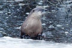在冰附近的河中水獭游泳 库存照片