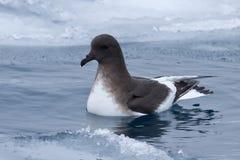在冰隙漂浮的南极海燕 库存照片