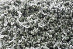 在冰霜盖的墙壁上的常春藤形成冬天背景 图库摄影