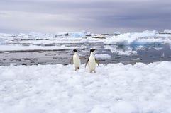在冰,南极洲的Adelie企鹅 库存照片