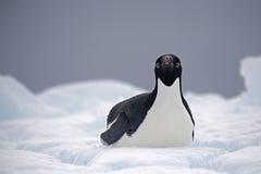 在冰,威德尔海, Anarctica的Adelie企鹅 库存照片
