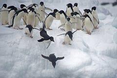 在冰,威德尔海, Anarctica的Adelie企鹅 免版税库存图片