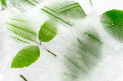 在冰结冰的叶子 免版税库存图片