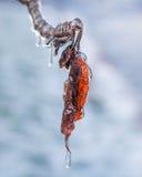 在冰暴结冰的秋天叶子 免版税库存照片