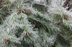 在冰暴以后的杉树 免版税库存照片