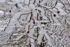 在冰01的野玫瑰果 免版税库存照片