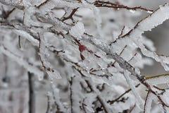 在冰04的野玫瑰果 免版税库存照片