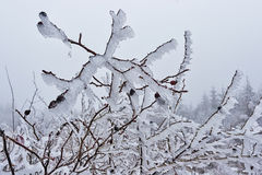 在冰03的野玫瑰果 免版税图库摄影