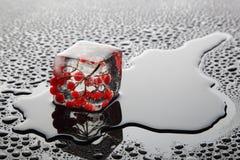 在冰(荚莲属的植物)的莓果 免版税库存图片