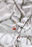 在冰暴,雨以后的几花楸浆果 库存照片