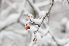 在冰暴,雨以后的几花楸浆果 图库摄影