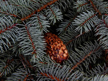 在冷杉分支特写镜头的湿杉木锥体 库存照片