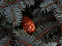 在冷杉分支特写镜头的湿杉木锥体 库存图片