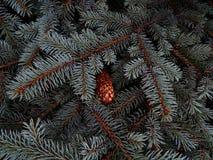 在冷杉分支特写镜头的湿杉木锥体 免版税库存图片